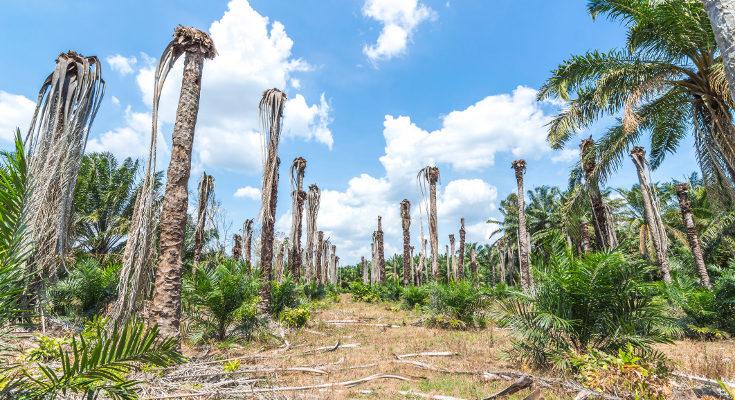 El aceite de palma tiene un impacto medioambiental muy negativo